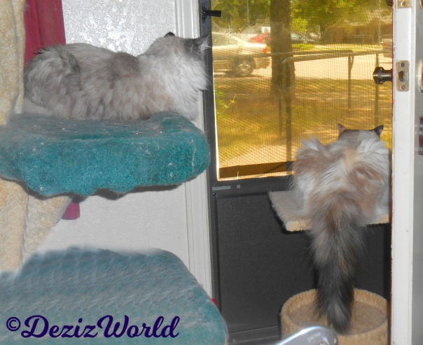 Dezi lays on liberty cat tree and Raena lays on perch looking out the door