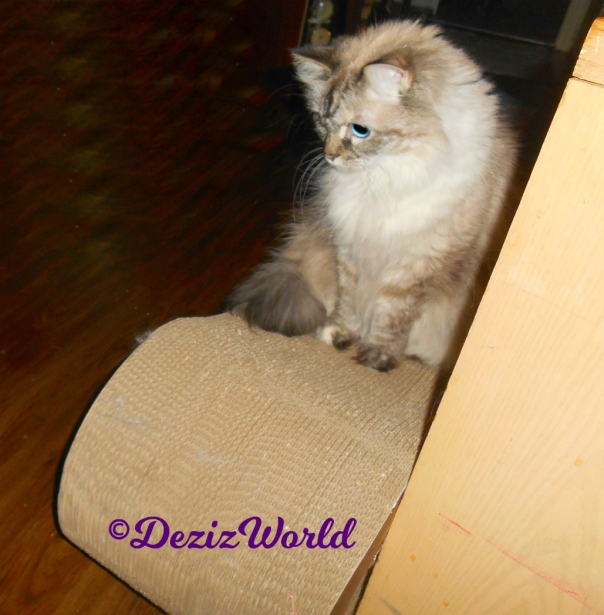 Dezi sits on scratcher watching the jitterbug