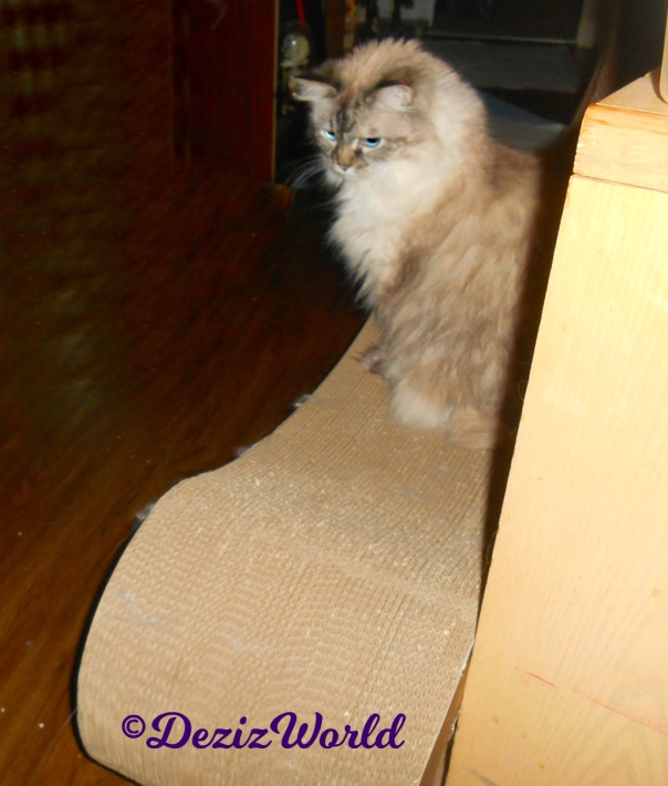 Dezi sits on the scratcher watching the jitterbug