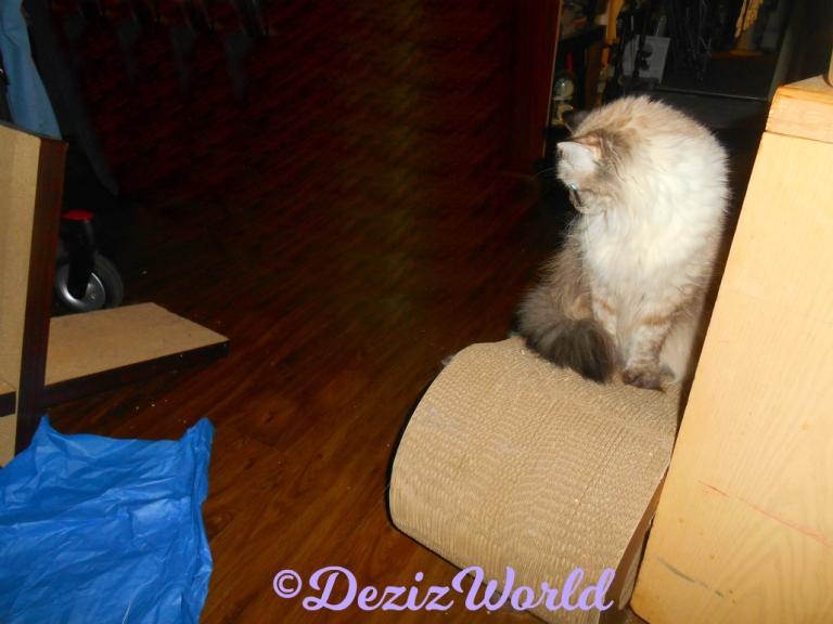 Dezi sits on scratcher watching jitterbug