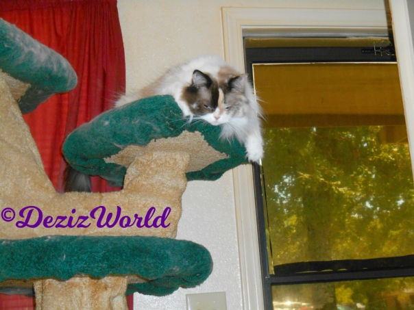 Raena hangs over the top of the Liberty cat tree