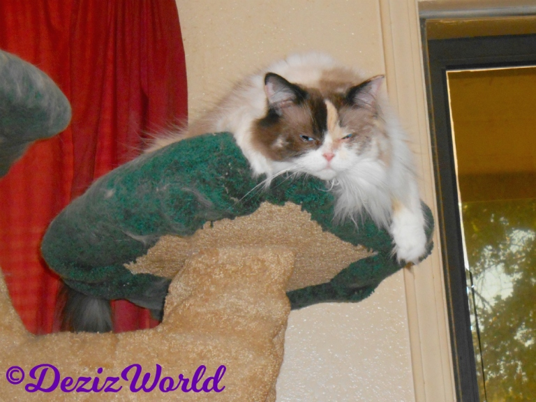 Raena hangs over the edge of the liberty cat tree