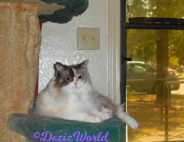 Raena lays on cat tree looking back