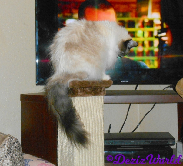 Raena sits on top of the scratching post watching tv