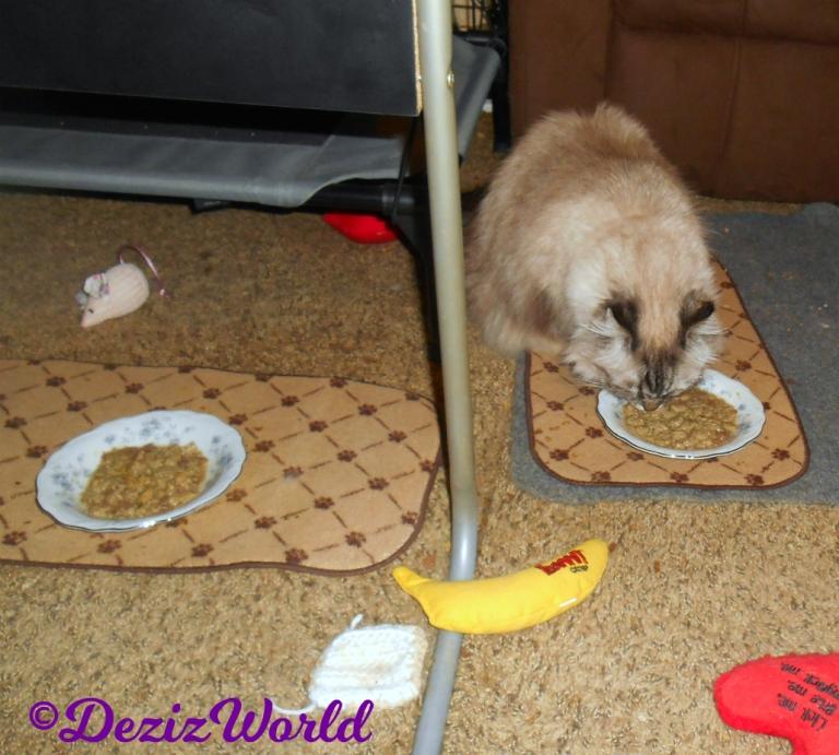 Dezi eats freeze dried cat food