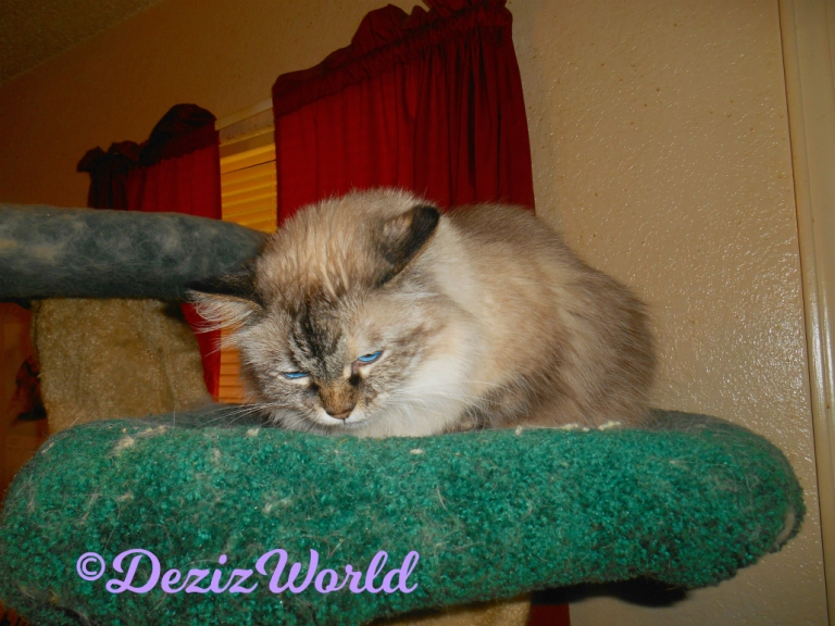 Dezi eats treat atop the cat tree