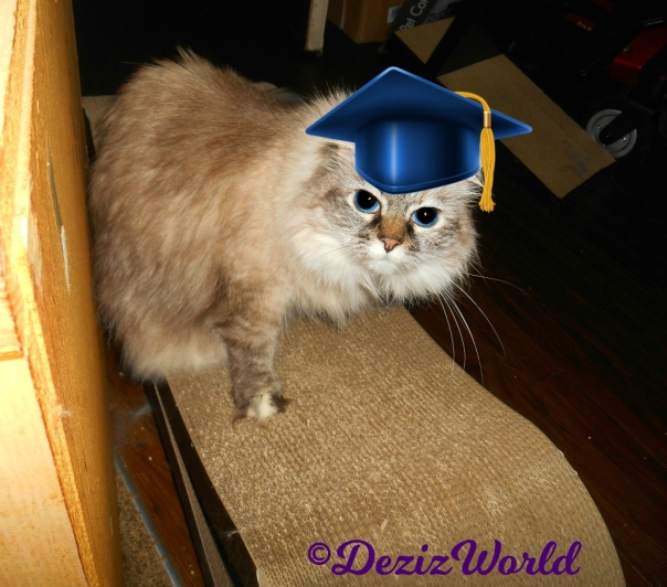 Dezi in a graduation cap sitting on cat scratcher