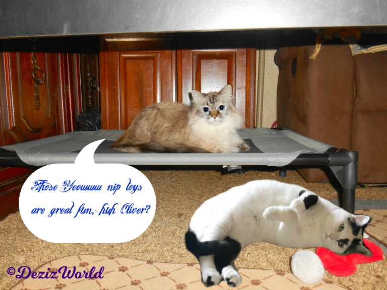 Dezi lays on pet cot with Oliver rolling on nip heart
