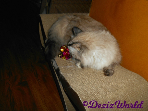 Dezi lays on scratcher playing with a crinkle ball