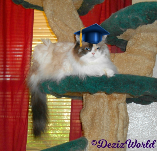 Raena in graduation cap sitting on the liberty cat tree