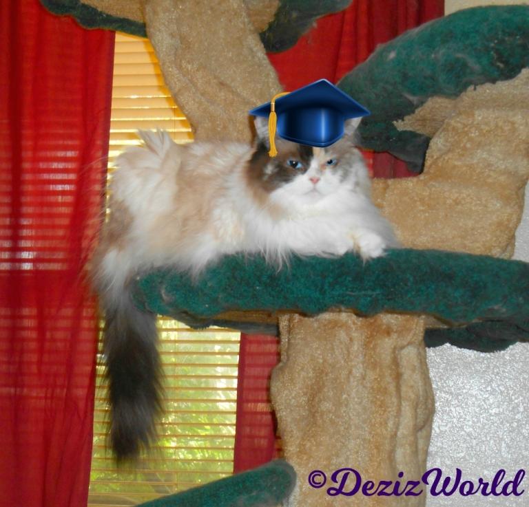 Raena in graduation cap sitting on the liberty cat tree