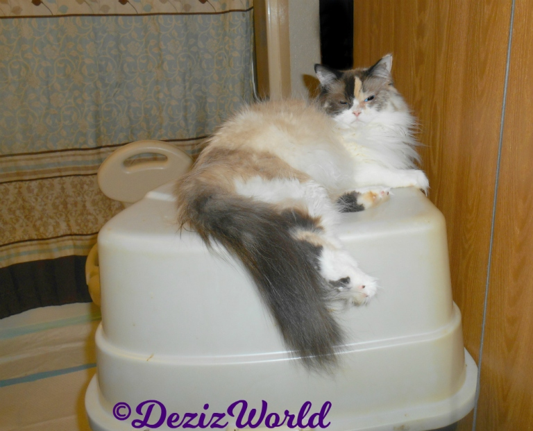 Raena lays on top of the litterbox