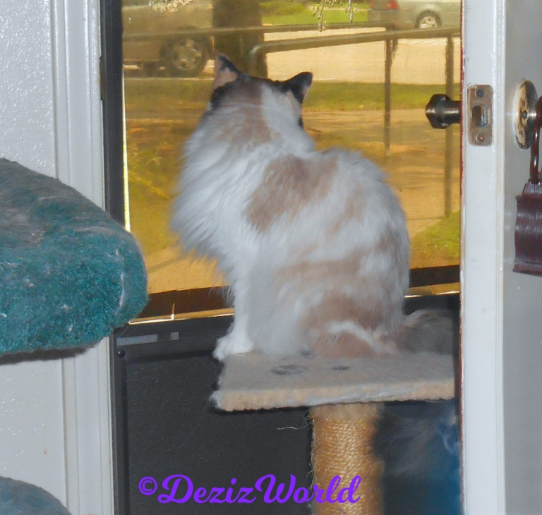 Raena looks out door while sitting on small cat perch