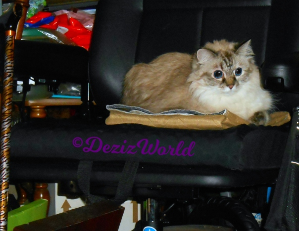 Dezi lays in wheelchair