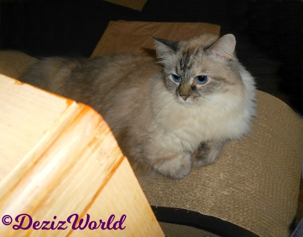 Dezi lays on cat scratcher