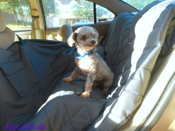 Niggy the dog with car seat cover