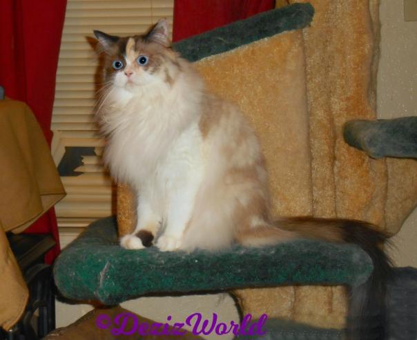 Raena sits on cat tree