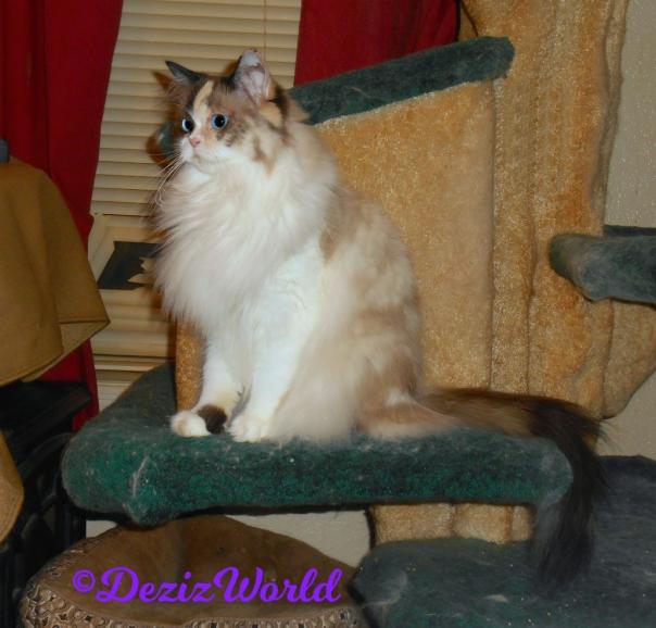 Raena sits on cat tree looking off, profile