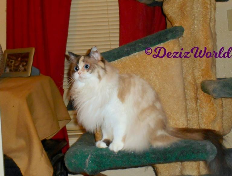 Curious Raena sits on cat tree