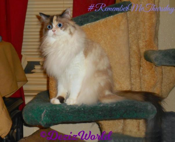 Raena sits on cat tree #RememberMeThursday