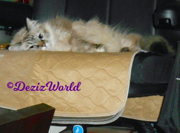 Dezi lays on piddle pad in wheelchair
