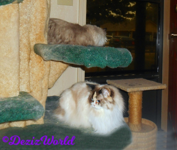 Dezi and RAena lay on cat tree and Dezi looks out door
