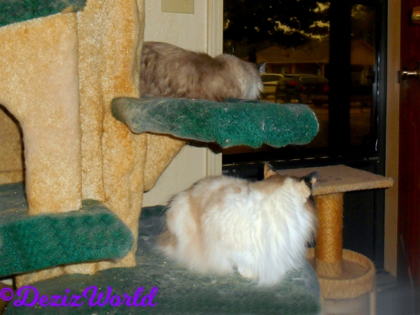 Dezi and Raena lay on cat tree looking out door