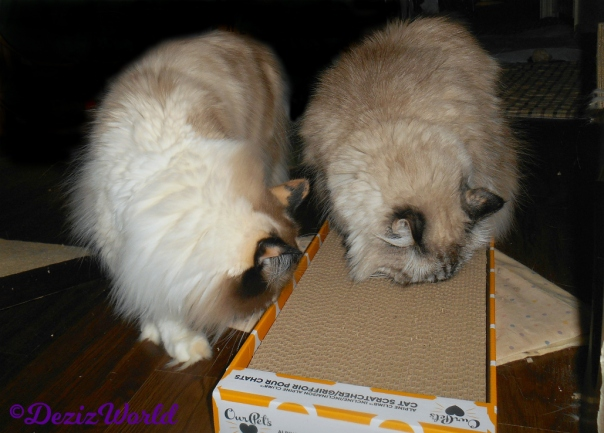 Dezi and Raena sniff our pets scratcher
