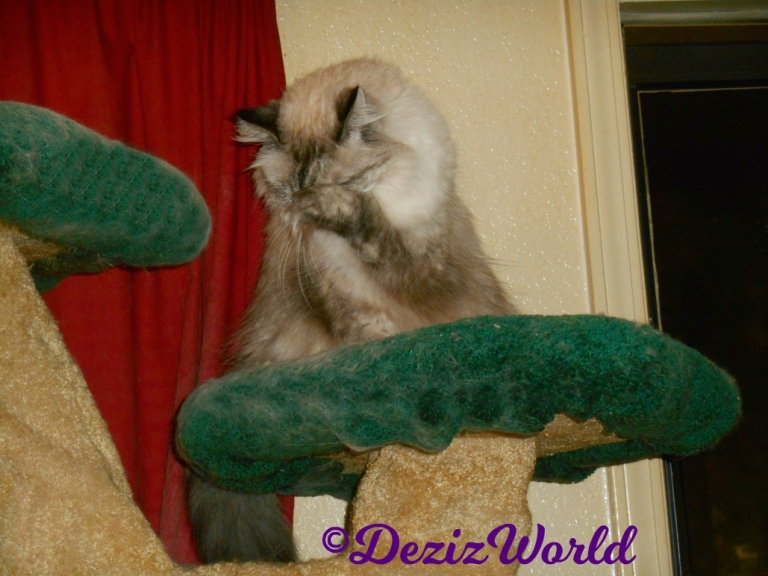 Dezi wipes eyes atop cat tree