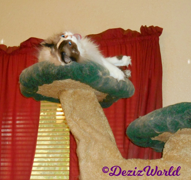 Raena bathes atop the liberty cat tree with her tongue out