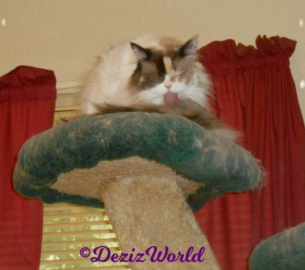 Raena bathes atop the cat tree