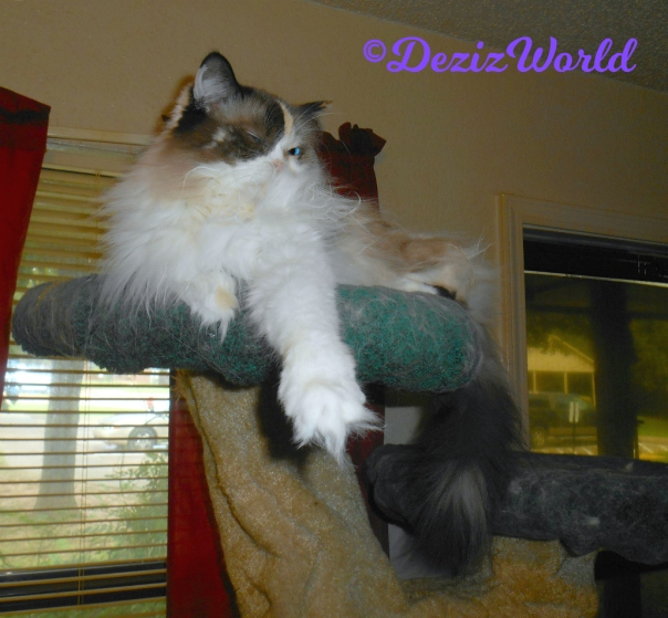 Raena lays atop the liberty cat tree with arm outstretched