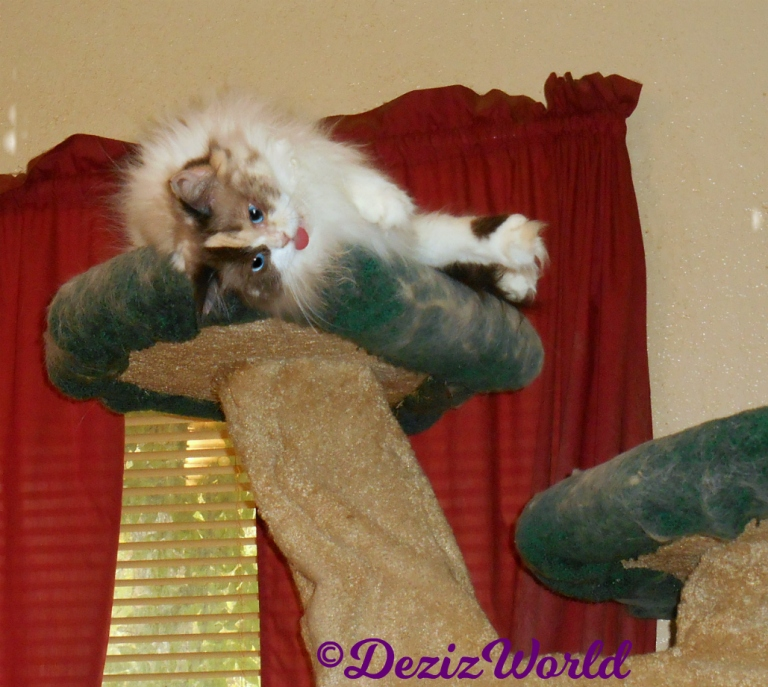 Raena lays atop the cat tree looking over-raspberry
