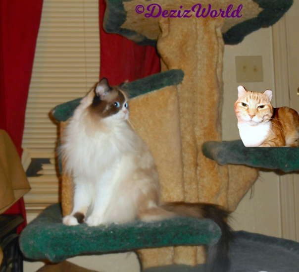 Raena sits on cat tree looking over at Prancie laying on cat tree