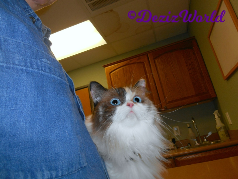 Raena sits on table at vet
