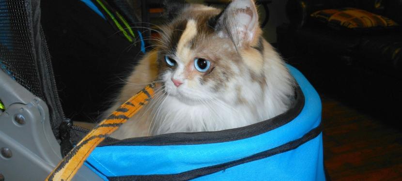 Service Cats: Why Cats Shouldn't Eat Grains AndVegetables