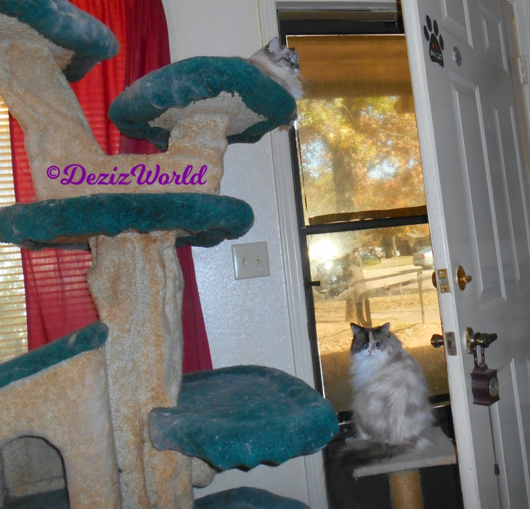 Dezi lays atop the cat tree and Raena sits on small perch in front of door