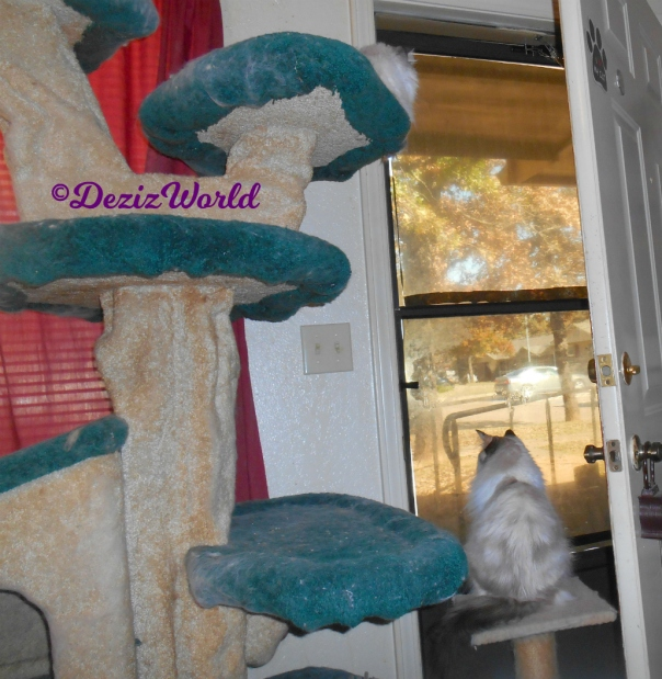 Dezi lays on top of cat tree and RAena sits on small perch in front of door
