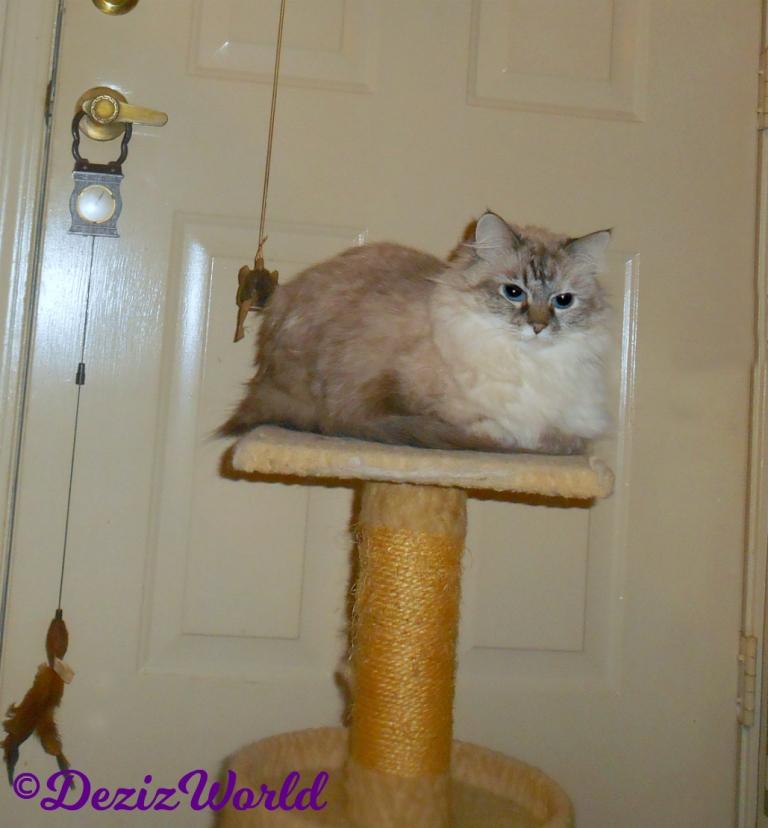 Dezi lays on small perch