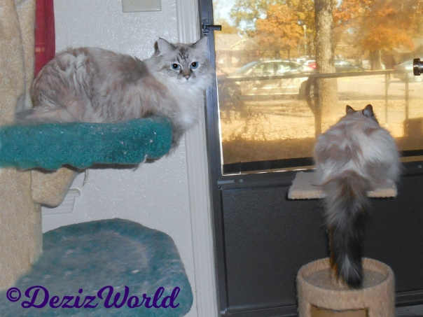 Dezi lays on cat tree looking back while raena lays on perch looking out door