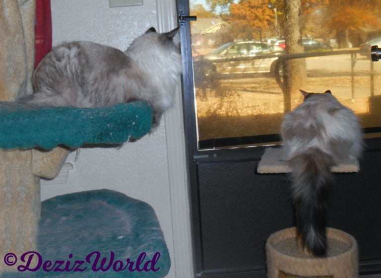 Dezi looks out door from cat tree, while Raena lays on perch
