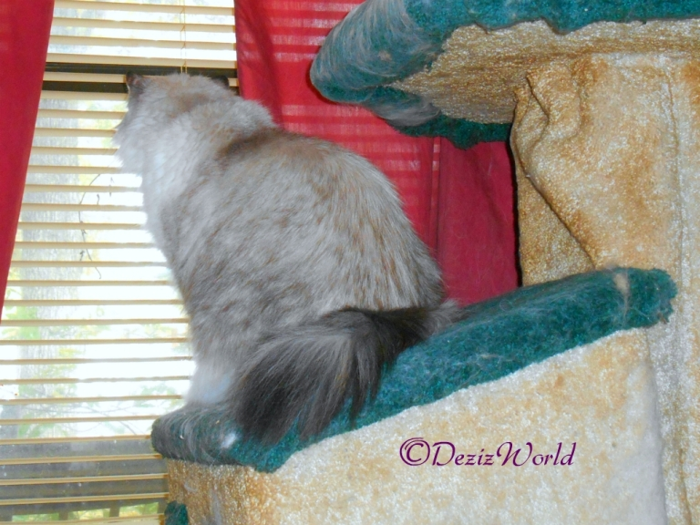 Dezi looks out window from cat tree house