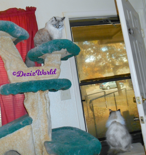 Dezi sits atop the cat tree while Raena sits on the small perch