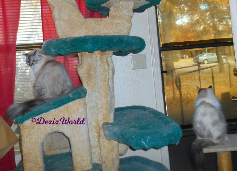 Dezi sits on cat tree house and Raena sits on small perch looking out door