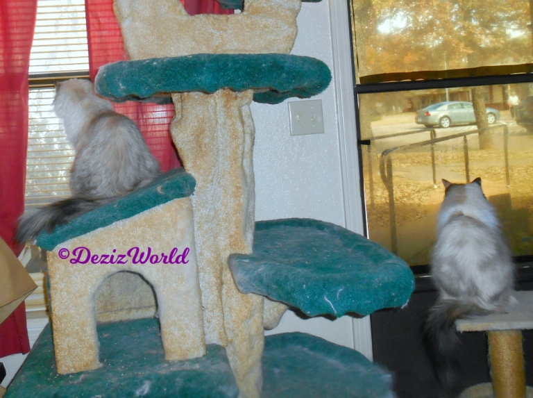 Dezi sits on cat tree house while Raena sits on small perch at door