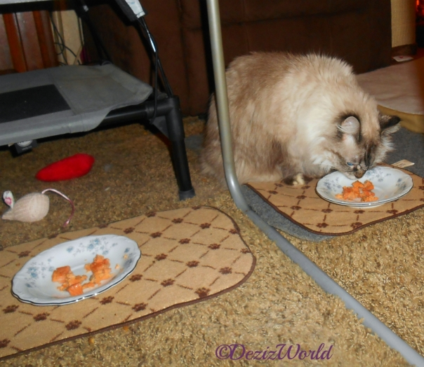 Dezi sniffs a plate of Fancy Feast filets