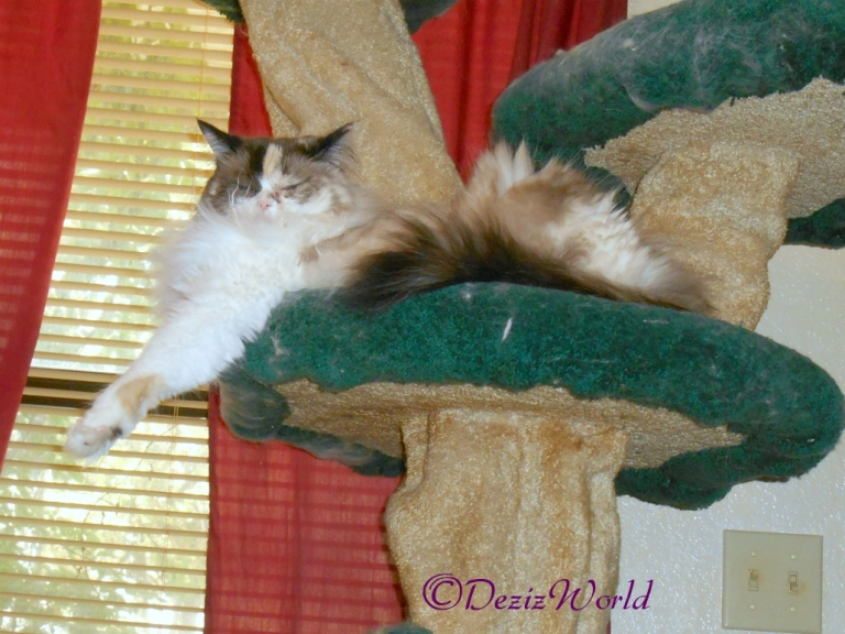 Raena lays on cat tree after surgery
