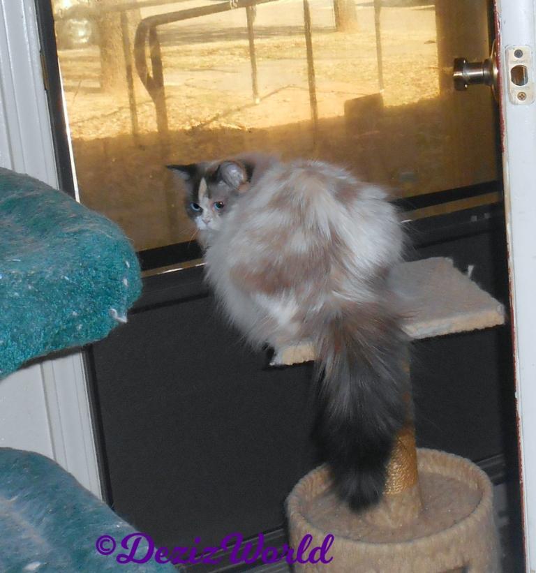 Raena lays on perch in front of door looking back