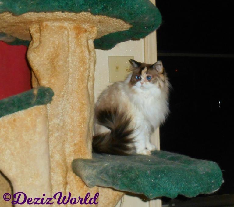 Raena sits on cat tree in front of door