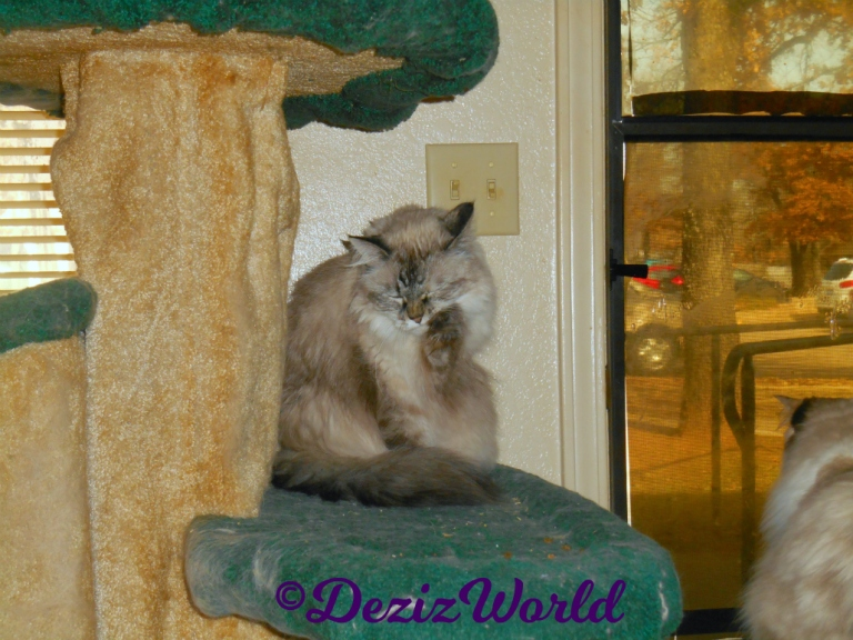 Dezi bathes while sitting on cat tree and Raena looks out door from perch